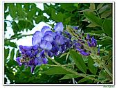 紫藤-豆科-藤蔓植物:紫藤13.jpg