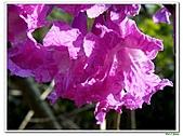 洋紅風鈴木-紫葳科-木本花卉:洋紅風鈴木218.jpg
