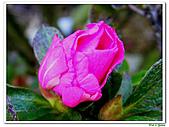 繞月杜鵑-杜鵑花科-木本花卉:繞月杜鵑14.jpg