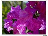 洋紅風鈴木-紫葳科-木本花卉:洋紅風鈴木219.jpg