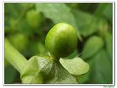 燈籠草(苦蘵)-茄科-藤蔓植物-飢荒野菜:燈籠草(苦蘵)05.JPG