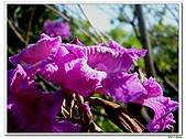 洋紅風鈴木-紫葳科-木本花卉:洋紅風鈴木220.jpg
