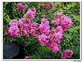 小花紫薇(紫紅色)-千屈菜科-木本花卉:小花紫薇-紫紅色21.jpg