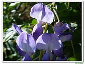 紫藤-豆科-藤蔓植物:紫藤14.jpg