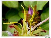 蔓性野牡丹-野牡丹科-藤蔓植物-地被植物:蔓性野牡丹17.jpg
