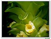鬱金(薑黃)-薑科-球根植物:鬱金20.jpg