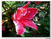 洋紅杜鵑-杜鵑花科-木本花卉:洋紅杜鵑01.JPG