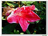 洋紅杜鵑-杜鵑花科-木本花卉:洋紅杜鵑02.JPG