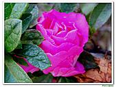 繞月杜鵑-杜鵑花科-木本花卉:繞月杜鵑15.jpg