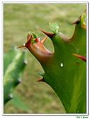 三角柱-仙人掌科-多肉植物-沙漠植物:三角柱15.jpg