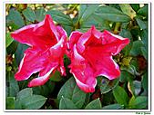 洋紅杜鵑-杜鵑花科-木本花卉:洋紅杜鵑03.JPG