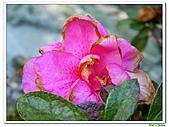 繞月杜鵑-杜鵑花科-木本花卉:繞月杜鵑16.jpg