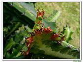 三角柱-仙人掌科-多肉植物-沙漠植物:三角柱01.jpg