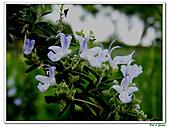 匍匐迷迭香-唇形科-香草植物-草本花卉-地被植物:匍匐迷迭香07.jpg