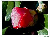玫瑰茶花-茶科-木本花卉:玫瑰茶花10.JPG