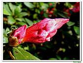 洋紅杜鵑-杜鵑花科-木本花卉:洋紅杜鵑04.JPG