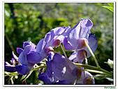 紫藤-豆科-藤蔓植物:紫藤16.jpg