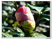 小紅茶花-茶科-木本花卉:小紅茶花10.JPG