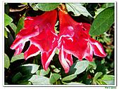 洋紅杜鵑-杜鵑花科-木本花卉:洋紅杜鵑05.JPG