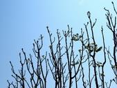 鐘萼木♥♥:鐘萼木1