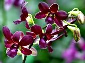 石斛蘭♥♥:石斛蘭12