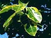 斑葉高山榕:斑葉高山榕8