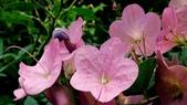 紫洋傘花:紫洋傘花13.JPG
