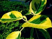 斑葉高山榕:斑葉高山榕10