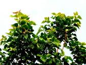 菩提樹:菩提樹03.jpg