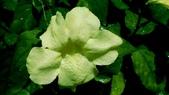 黃花赤道櫻草:黃花赤道櫻草06.JPG