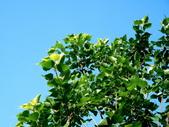 菩提樹:菩提樹01.jpg