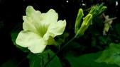 黃花赤道櫻草:黃花赤道櫻草10.JPG