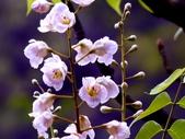 鐘萼木♥♥:鐘萼木12