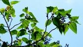 小構樹:小構樹03.JPG