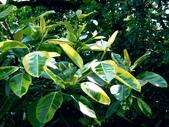 斑葉高山榕:斑葉高山榕5