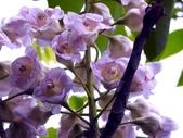 鐘萼木♥♥:鐘萼木17