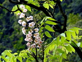 鐘萼木♥♥:鐘萼木9