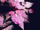 粉紅佳人彩葉芋♥♥:粉紅佳人彩葉芋6