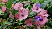 紫洋傘花:紫洋傘花08.JPG