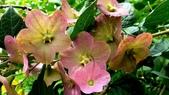 紫洋傘花:紫洋傘花14.JPG