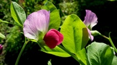 香豌豆:香豌豆06.JPG