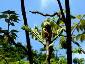 鐘萼木♥♥:鐘萼木2