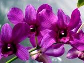 石斛蘭♥♥:石斛蘭10