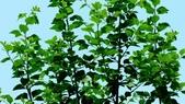 紫洋傘花:紫洋傘花01.JPG