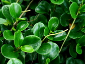 圓葉椒草(金錢樹):圓葉椒草(金錢樹)3