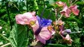 紫洋傘花:紫洋傘花10.JPG