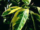斑葉高山榕:斑葉高山榕9