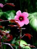 紅葉洛神葵(紅葉槿):紅葉洛神葵6