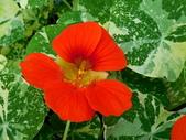 金蓮花:金蓮花4