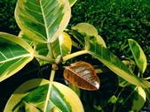 斑葉高山榕:斑葉高山榕11
